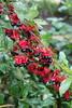 """Ochna serrulata - Botanischer Garten Berlin • <a style=""""font-size:0.8em;"""" href=""""http://www.flickr.com/photos/25397586@N00/19579854968/"""" target=""""_blank"""">View on Flickr</a>"""