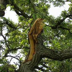 recent storm damage (quirkyjazz) Tags: oaktree lonetree oldoak thattree plattevillewisconsin