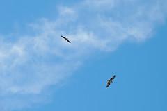 Osprey (Boulder Flying Circus Birders) Tags: osprey pandionhaliaetus birdwalk bouldercountyopenspace waldenpondswildlifehabitat stevefrye ospreyboulder ospreycolorado wildbirdboulder wildbirdcolorado ospreybouldercounty wildbirdcompany formerwildbirdcenter