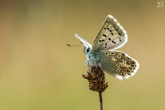 Chalkhill Blue (Max Thompson Photography) Tags: uk blue light wild england sun white black west detail macro eye nature bug insect fly chalk back natural bokeh wildlife south hill smooth sigma somerset clean clear ridge butter 5d lit sat marbled rim chalkhill depth buttefly mkiii 150mm polden