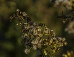 Lady Bug's Husband (de Fleron) Tags: nex6 50mm18 insect flower bug
