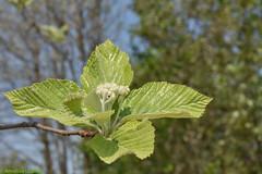 Alisier blanc (Sorbus aria) - Please press L (Annelise LE BIAN) Tags: champagneardenne fleursetplantes france alisierblanc sorbusaria explore coth alittlebeauty closeup coth5 sunshine damn
