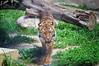 (452/16) Tigre asiático (Pablo Arias) Tags: pabloarias photoshop nxd cielo nubes españa terranatura tigre animal felino zoo benidorm alicante comunidadvalenciana