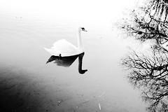 A White Swan on Frensham Ponds (Jenny.Lawrence) Tags: wildlife blackandwhite nature monochrome bird swan sony sonyalpha a7 35mm carlzeiss zeiss