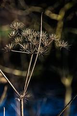 Finale (marktmcn) Tags: hogweed hog weed plant dying golden winter light sunlit dof depth d610 nikkor
