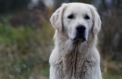 Loyal look (clé manuel) Tags: dog pet hund haustier treu treue treuer blick golden retriever labrador tier animal portrait white fur analogue lens 19 ah tamron