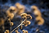 Winter Wonderland (kubaszymik) Tags: winter january 2017 cold frost frosty freeze snow white blue yellow flower bur canon vsco colors gliwice silesia poland garden fields morning dawn bokeh light