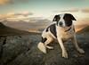 1/52 Icicled Elk (JJFET) Tags: 1 52 weeks for dogs elk border collie mountain scotland dog sheepdog