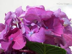 hortênsia (✿ Graça Vargas ✿) Tags: hydrangea hortensia flower graçavargas ©2016graçavargasallrightsreserved 15108140117 pink