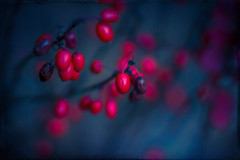 Barberry Winter (Colormaniac too) Tags: barberries shrub colorful winter berries red berberisthunbergii garden cheerful nature plant botanical sequim olympicpeninsula washingtonstate pacificnorthwest topazimpression topaztextureeffects