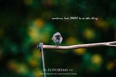 [day-11] (mohiuddin shaik(moin)) Tags: tufted titmouse bird fotobyms