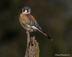 MKest1-1aa (lfalterbauer) Tags: americankestrel canon7dmarkii nature wildlife photography avian birdwatcher bokeh falcon perch prey