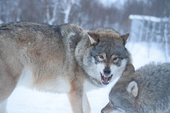 Eurasian Wolf in Arctic Norway (Jason Shorten) Tags: norway europe d5300 sigma nikon arctic snow ice nature animals eurasian wolf wolves 70300mm bardu