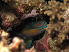 Sleeping parrotfish (Lerotic) Tags: uw underwater egypt redsea scuba diving