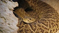 Klapperschlange (www.die-letzte-crew.de) Tags: 161210 wilhelma schlange snake crotalus zoo tiere animals rattlesnake tierpark stuttgart badcannstatt botanischergarten zoologischergarten