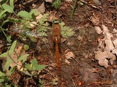 Szitakötő (ossian71) Tags: magyarország hungary balaton tihany természet nature rovar insect