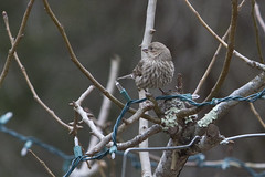 Female House Finch (brucetopher) Tags: finch housefinch purplefinch finches bird birds birding newengland capecodbirds massachusettsbirds newenglandbirds birdwatching watch identified