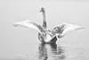 'Princess Grey' (Jonathan Casey) Tags: cygnet swan whitlingham broad norfolk nikon d810 200mm f2