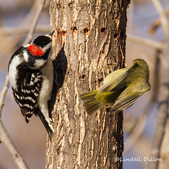 Commensalism (Lindell Dillon) Tags: commensalism symbiotic nature downywoodpecker rubycrownedkinglet oklahoma lindelldillon winter raw