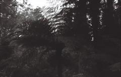 Tree fern (Matthew Paul Argall) Tags: 127 127film kodakbrownie127 fixedfocus focusfree meniscuslens untouchedandunedited unlimitedphotos rerapan100 rerapan 100speedfilm 100isofilm treefern ferntree plant plants blackandwhite blackandwhitefilm
