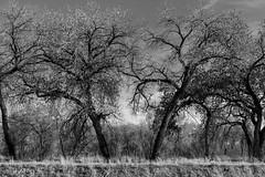 (el zopilote) Tags: 500 albuquerque newmexico elbosque riogrande riograndevalleystatepark landscape trees eos 1dsmarkiii canonef50mmf14usm fullframe bw bn nb blancoynegro blackwhite noiretblanc digitalbw bndigital schwarzweiss monochrome