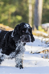 #dog #cockerspaniel #winter #snow #nature (anderswiik2) Tags: cockerspaniel winter nature dog snow