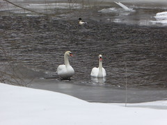 Swans in winter river