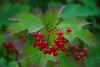 Viburnum opulus (common name guelder-rose) (KlavsNielsen) Tags: autumn fruit red nature september closeup macro berries