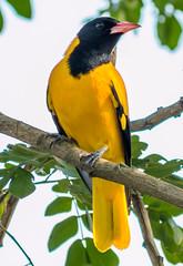 হলদে পাখি (Black-hooded Oriole) (SaDa.KaLo) Tags: black hooded oriole bangladesh কুটুম পাখি বেনেবউ হলদে বউ