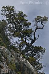 Olivastri, Wild Olive-trees (paolo.gislimberti) Tags: alberi trees vegetazionerupestre rockyvegetation macchiamediterranea mediterraneanmaquis
