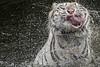 s 2017 Jan04_White Tiger_DSC_7401 (Andrew JK Tan) Tags: wild whitetiger 2017