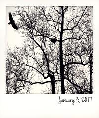 Turkey vulture & tulip tree. (jeanne.marie.) Tags: flying bird tulippoplar nest winter instant trees turkeyvulture silhouettes 365the2017edition 3652017 day3365 3jan17