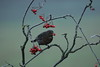 Blackbird (Colin Rigney) Tags: nature wildlife colinrigney canoneos7d birds wild wildbird outdoor avian ukwildlife birdsofengland worcestershireuk blackbird berries redberries mist fog