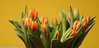 """More spring in the livingroom"" (A.J. Boonstra) Tags: canon canon70d canoneos flowres tulp tulpen tulip tulips yellowbackground indoor closeup elinchromgoldumbrella jinbeiwhiteumbrella falconeyesskk2150d ef100mmf28lmacroisusm orangedutchtulipsprinsesirene princessirene"