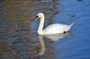 Sleepy swan (2) (Caulker) Tags: aberford park lake sleepy swan sunnyday 02012017