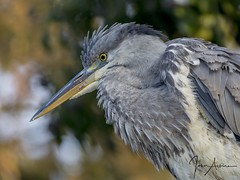 Grey Heron portrait at Nene Park. (johnatkins2008) Tags: greyheron portrait wildlifephotography birdphotography nenepark ferrymeadows johnatkins2008 waterside riverside lakeside