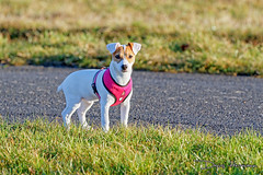 IMG_8151_web (hdenis67) Tags: annee alsace basrhin carnivores continentsetpays faune france jackrussellterrier natureetpaysage weislingen année2016 canidés fidèle lieu mammifère