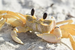 The Crabster (agnescodswallop1) Tags: crab beach sun sand