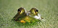 hola mi amigo, te ves bien ... (don.white55 Thanks a million..) Tags: wildwoodlake harrisburgpennsylvania donwhite thatswildnaturephotography canone0s7od canoneos70defs55250mmf456isii frog amphibian habitat herpetology herp duckweed green eyes