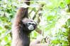 Hi... (Awang Marjokni) Tags: zoo lok kawi sabah malaysia rest monyet monkey