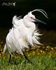 Bad feather day (Jennie Stock) Tags: littleegret egrettagarzetta breedingplumage herdsmanlake windblown