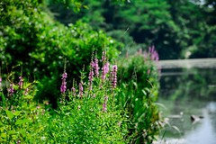 Wishing for that Warmer Weather (LauraJSwindle) Tags: 2016 floral nature plants greens fleur flowers wildflowers purples lakes water bokeh masapequanaturepreserve foliage botanical flower ripples trees summer2016 newyork ny longisland massapequany facialexpressions wantagh usa