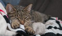 Cindy´s favorite place (*Nils aus Kiel*) Tags: cat katze animal tier pet haustier kitten mietze eyes augen paws pfoten closeup