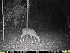 deer (moonshiner66) Tags: deer whitetail america usa alabama woods forest wildlife primos primosproofcam03 south thesouth southern winter 2017 trailcam trailcamera proof night nightcamera whitetaildeer primostrailcamera makeamericagreatagain whitetaileddeer white tailed