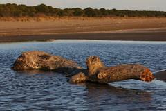 Cetaceo (lincerosso) Tags: litorale arenile spiaggia relittoligneo tronco cetaceo spiaggiato alberomorto vallevecchia inverno bellezza armonia