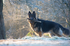 Three sticks (cuppyuppycake) Tags: german shepherd dog outdoor sticks fetch animal pet january nikon d7200