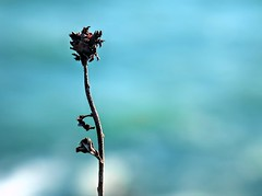 Coastal Bokeh... (DawnWarrior) Tags: langland headland gower peninsula winter water sea flower plant macro stark stalk stem smooth bokeh dawnwarrior sonyrx10