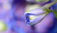 Wishing and Hoping... (setoboonhong ( Travel )) Tags: nature flower delphinium bud petals macro depth field colours purple blue green bokeh song wishing hoping dusty springfield 1964 fitzroy gardens conservatory