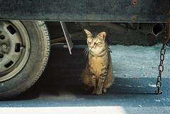 (YL.H) Tags: 新竹 底片 film canon solaris taiwan analogy 500n 東門市場 貓 cat straycat