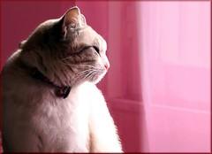 Aristo_Cat (Christine Lebrasseur) Tags: pink red portrait white france art window animal animals cat canon 350d grey poetry quote kitty gata vende champagnlesmarais httpjackyelivejournalcom77168html ltytrx5 allrightsreservedchristinelebrasseur